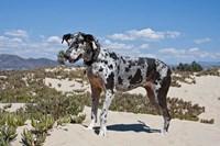 A Great Dane standing in sand at the Ventura Beach, California Fine-Art Print