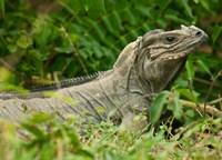 Ground Iguana lizard, Pajaros, Mona Island, Puerto Rico Fine-Art Print