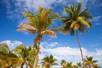 Palm trees under blue skies, San Juan, Puerto Rico Fine-Art Print