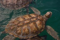 Turtle Farm, Green Sea Turtle, Grand Cayman, Cayman Islands, British West Indies Fine-Art Print