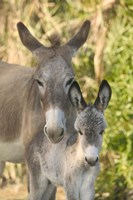 Mother and Baby Donkeys on Salt Cay Island, Turks and Caicos, Caribbean Fine-Art Print