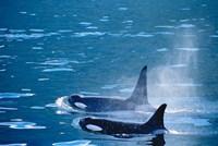 Killer Whales feeding in Johnstone Strait, British Columbia, Canada Fine-Art Print