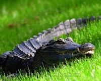 Alligator - laying in the grass Fine-Art Print