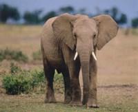 Elephant In Green Field Fine-Art Print