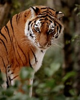 Tiger - photo Fine-Art Print