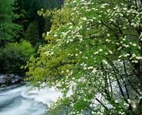 Flowering dogwood tree along the Merced River, Yosemite National Park, California Fine-Art Print