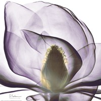 Purple Magnolia Fine-Art Print