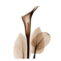 Calla Lily in Sienna Fine-Art Print