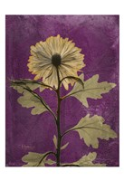 Chrysanthemum Purple II Fine-Art Print