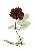 Ox Blood Rose 1 Fine-Art Print