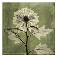 Chrysanthemum Green Fine-Art Print