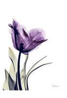Tulip Dream Fine-Art Print