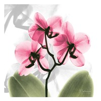 Orchid Pink Fine-Art Print