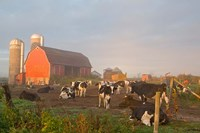 Holstein dairy cows outside a barn, Boyd, Wisconsin Fine-Art Print