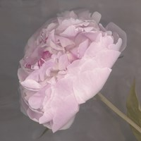 Fleur Fine-Art Print