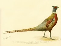 The Mongolian or Ring-Necked Pheasant Fine-Art Print
