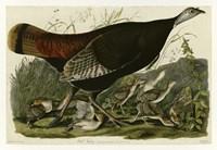 Wild Turkey Fine-Art Print