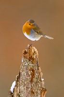 UK, Robin bird on tree stump, Winter Fine-Art Print