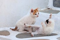 Kittens Playing, Mykonos, Greece Fine-Art Print