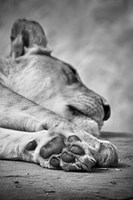 The Lions Paw Fine-Art Print