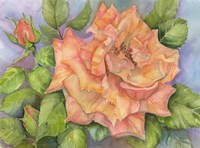 Peach Blush Rose Fine-Art Print
