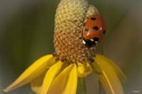 Ladybug On Yellow Flower Fine-Art Print