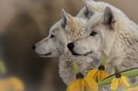 Three Wolves Fine-Art Print