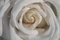 White Rose Petals Closeup Fine-Art Print