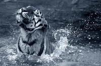 Tiger Splash Fine-Art Print