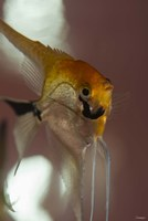 Angel Fish VIII Fine-Art Print