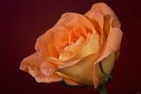 Orang Rose On Red Glow Closeup Fine-Art Print