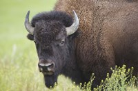 Buffalo Closeup I Fine-Art Print