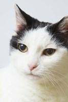 White Cat Contemplation Fine-Art Print