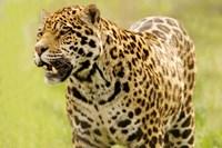 Jaguar Ready Fine-Art Print