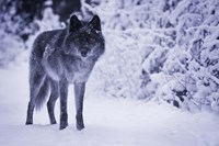 Gray Wolf In Winter Snow Fine-Art Print