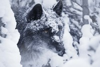 Gray Wolf Under Winter Snow Fine-Art Print