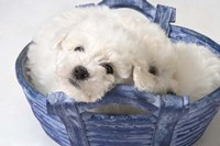 White Puppy In Blue Basket Fine-Art Print