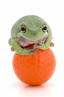 Green Frog Orange Golf Ball II Fine-Art Print