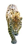 Jaguar On White Fine-Art Print