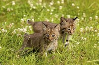 Wild Cat Cubs Fine-Art Print