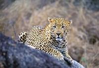 Leopard Resting Fine-Art Print