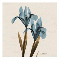 Iris Blue Brown B18 Fine-Art Print