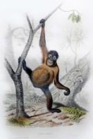 Orangutan Fine-Art Print