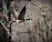 Canadian Goose In Flight 3 Fine-Art Print