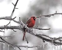 Male Cardinal Braving The Cold Fine-Art Print