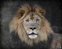 Male Lion Portrait 1 Fine-Art Print