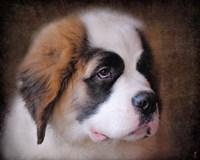 Saint Bernard Puppy Portrait Fine-Art Print
