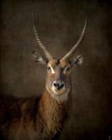 Waterbuck Antelope Fine-Art Print
