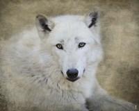 White Wolf Portrait Fine-Art Print