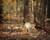 Wild Turkey In The Woods Fine-Art Print